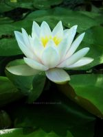Waterlily by Bimmi1111