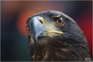 Juvenile Bald Eagle Portrait 2 by W0LLE
