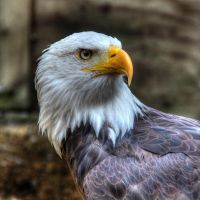 Bald Eagle 01 by s-kmp
