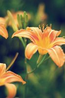 Lilies by rclee21