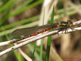 Large Red Damselfly by Terrydunk