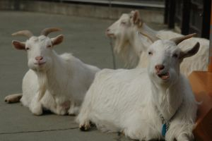Goats eating ... something by Lunkhead