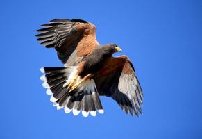 Harris's Hawk in flight 2160 by mammothhunter