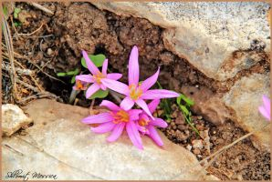 Colchicum  for Gil by ShlomitMessica