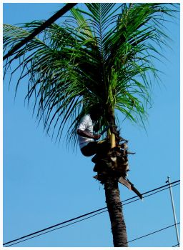 death of a coconut tree by lushtea