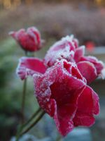 the frosty rose. . by hannalizz