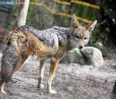 Black-backed Jackal by MichelleB-Stock
