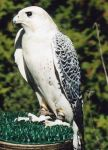 White Gyrfalcon by Psykowldcrd