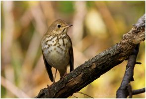 Hermit Thrush by Ryser915