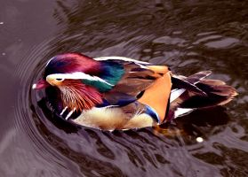 Mandarin Duck Stock by PlaidRed