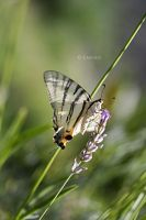 The Butterfly by Emnais