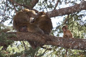 Barbary Macaques in a tree 2 by Solrac1993