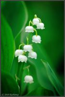 Convallaria majalis by Dark-Raptor