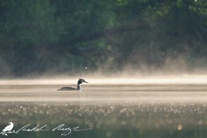 Morning - Great crested grebe (Podiceps cristatus) by PhotoDragonBird