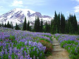 Mount Rainier Wildflowers by dsiegel