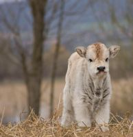 Baby cow.. by Fredrick88