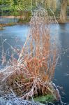 Coombe Wood Frozen Carp Pond With Frosted Fern by aegiandyad