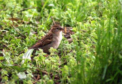 Sparrow in Grass by dianef