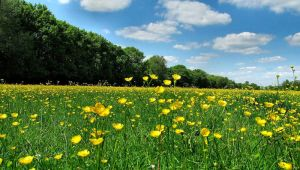 Buttercup Field by Becky125