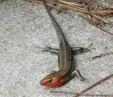 Five-lined Skink, male by duggiehoo