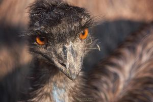 Emu close-up by DominikaAniola