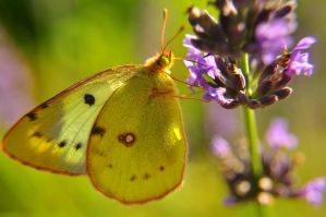 Colias. by Fiedka