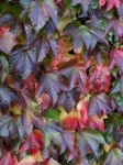 colorful leaves by Corycat