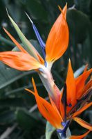 bird of paradise 12 by ingeline-art