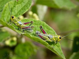 Grasshoppers by DavidVeevers
