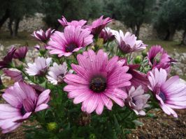 Flowers in Kontogialos by Sith4Brains