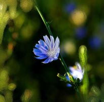 Chicory by TimLaSure
