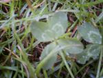 Four Leaf Clover Photo 1 by catluvr2