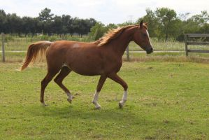 Arabian Horse Stock 1 by MyHorseTwist