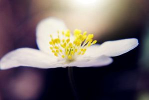 Anemone flower by BlueColoursOfNature