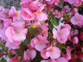Bunches of Pink by Maddyrox14