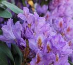 Fading Rhododendrons by Dotsmom