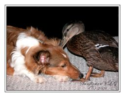 Duck, Duck.....Dog by sunflowervlg