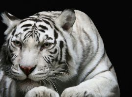Siberian Tiger by looceh