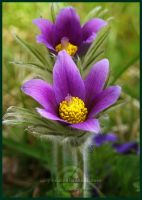 Dane's Blood - Pulsatilla Vulgaris by Lilyas