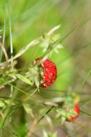 wild strawberry by linedal