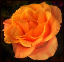 ORANGE ROSE 12 by THOM-B-FOTO