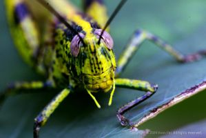 Grasshopper In Action... by HolyWiz