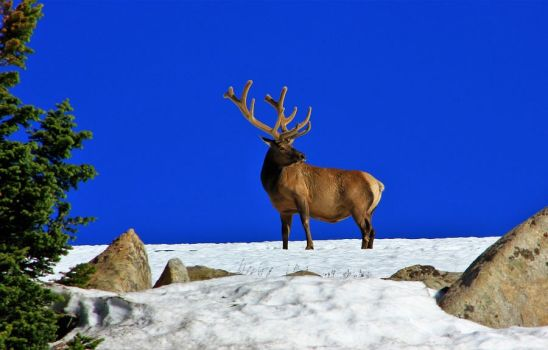 Elk on the mountain by finhead4ever