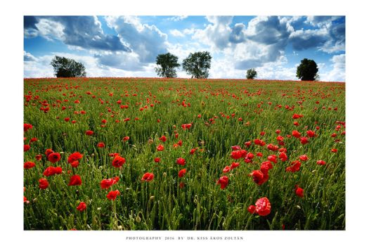 The poppies of Mernye - III by DimensionSeven