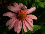 Coneflower by Matthew-Beziat