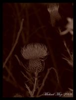 Purple fluffy flower-sepia by Famous-Panda