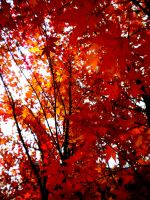 Red Leaves by musicismylife2010