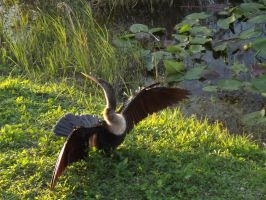 Anhinga- the showy bird by riverTurtle790