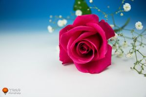 ROSE by WindyLife
