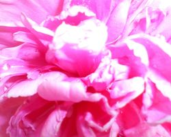 Pink Peony by The--Enchantress